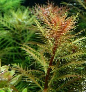IC403 Proserpinaca Palustris