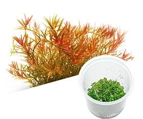 Rotala rotundifolia 'Hra'