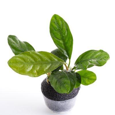LC 056 Anubias barteri 'Coffeefolia'