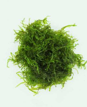 "Taxiphyllum sp. ""Flame Moss"""