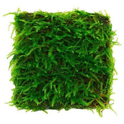 """Taxiphyllum sp. """"Spiky Moss"""""""